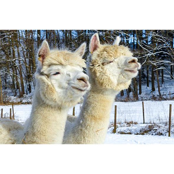 Alpaka Wanderung für 2